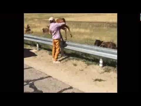 Помогли жеребёнку на трассе