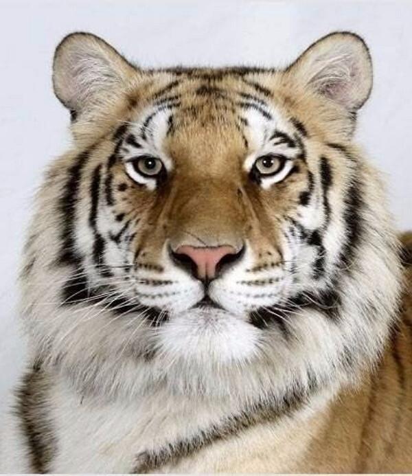 Тигры с разным окрасом шерсти