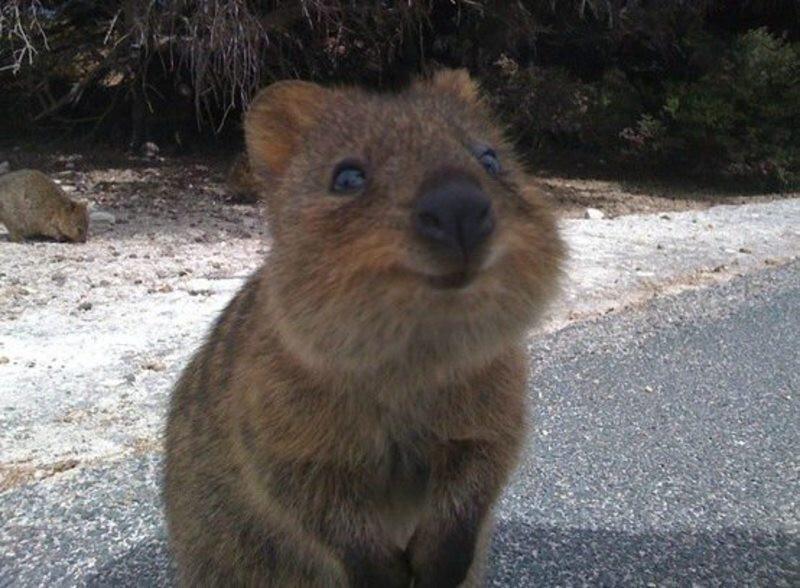 КВОККА- самое улыбчивое животное в мире!