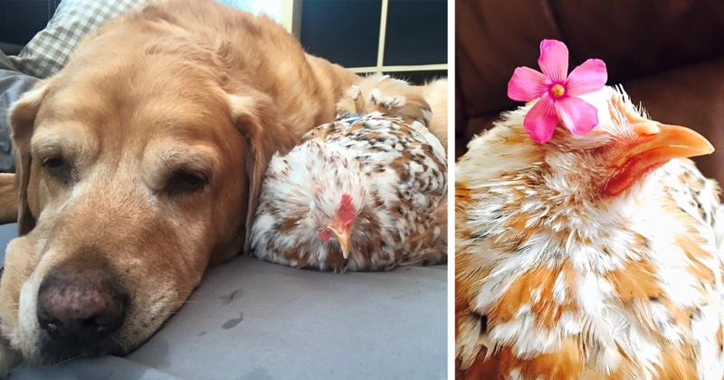 Курица, рожденная без глаз, подружилась со всеми животными на ферме