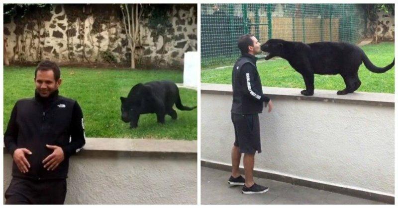 Пантера подкралась сзади к ничего не подозревающему мужчине, чтобы... поцеловать его!