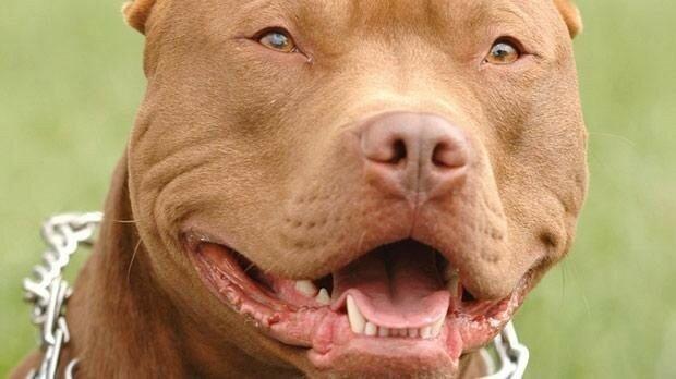 Лицензия на собаку. В РФ собак опасных пород приравняют к оружию