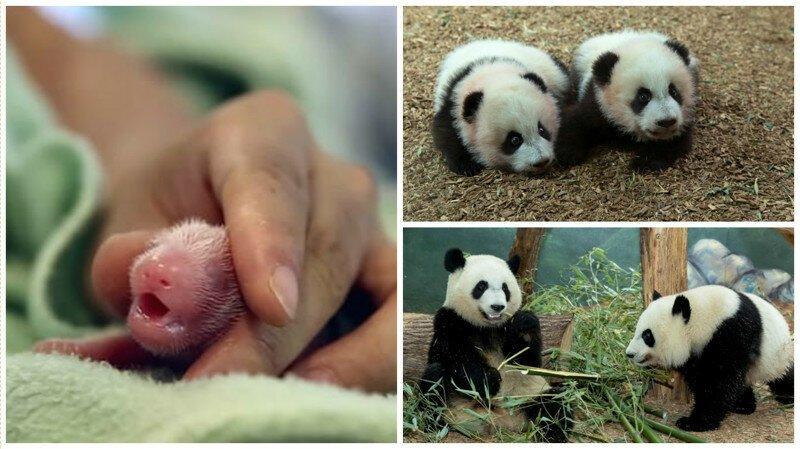 Беременная панда сделала зоопарку неожиданный подарок
