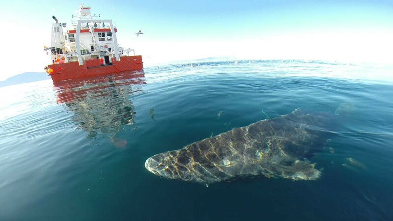 Ученые: гренландская акула - главный долгожитель среди позвоночных