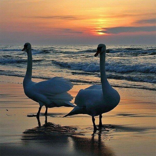 Лебеди в закате солнца