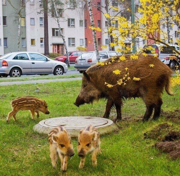 Петербуржцы напуганы появлением диких кабанов в городе