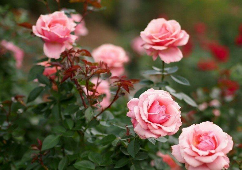 Садоводам на заметку: правила осенней посадки роз