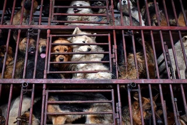 Китайский бизнесмен купил 2,000 собак, чтобы спасти их и найти им новый дом