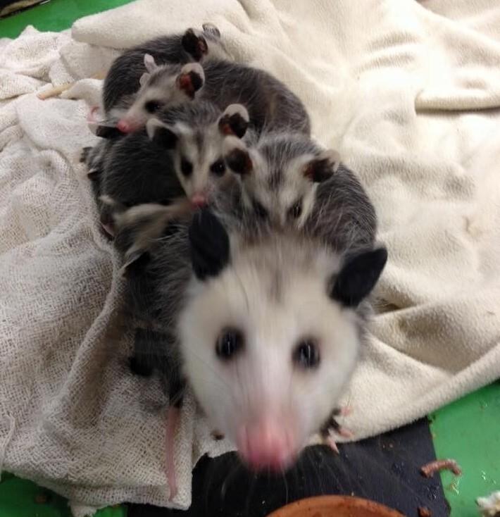 Раненая мама-опоссум пришла к людям, чтобы они помогли её малышам