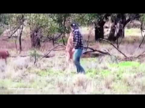 Драка с кенгуру из-за собаки: