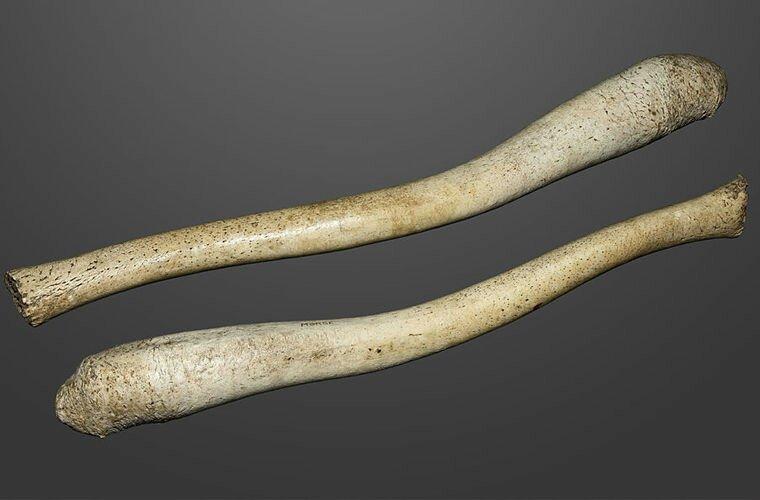 Почему мужчины потеряли кость в пенисе?
