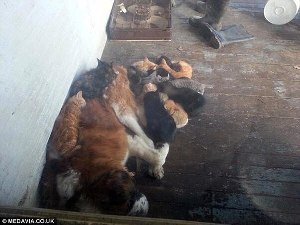 Этот сенбернар наверное самый добрый пёс по отношению к котам