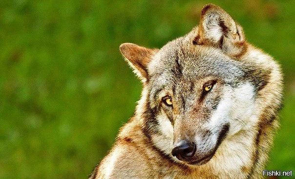 Фотогеничный волк