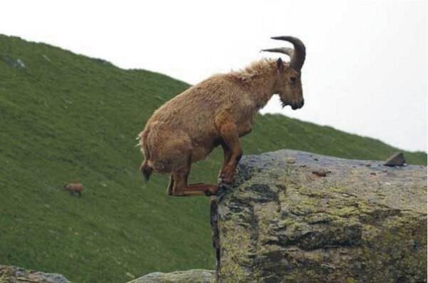 Вы когда-нибудь задумывались о горных козлах?