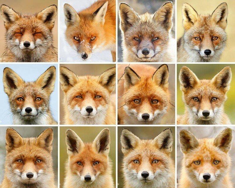 Фотограф своими работами доказывает, что каждая лисица — это личность