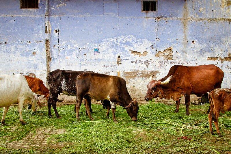 Священное животное: плюсы, минусы и подводные камни неприкосновенности коров в Индии