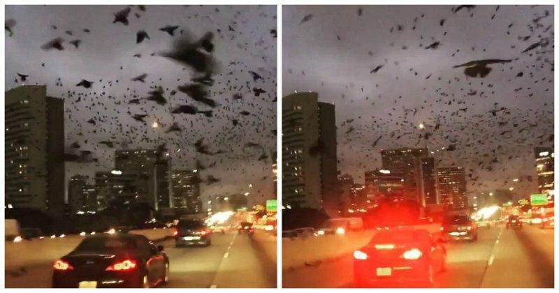 Огромная стая дроздов, парящая в небе над шоссе в Хьюстоне похожа на ожившую сцену из «Птиц» Альфреда Хичкока