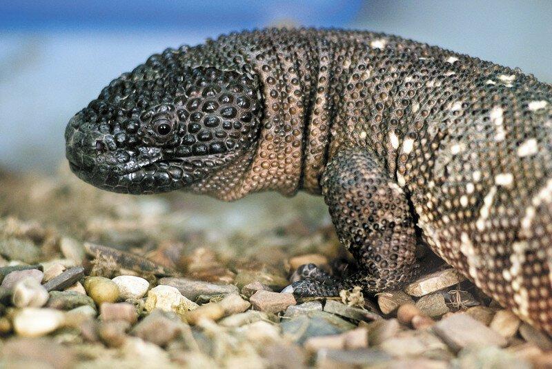 Ядозубы (Helodermatidae) - единственные на планете ядовитые ящерицы