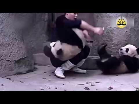 Панды не хотят инъекций