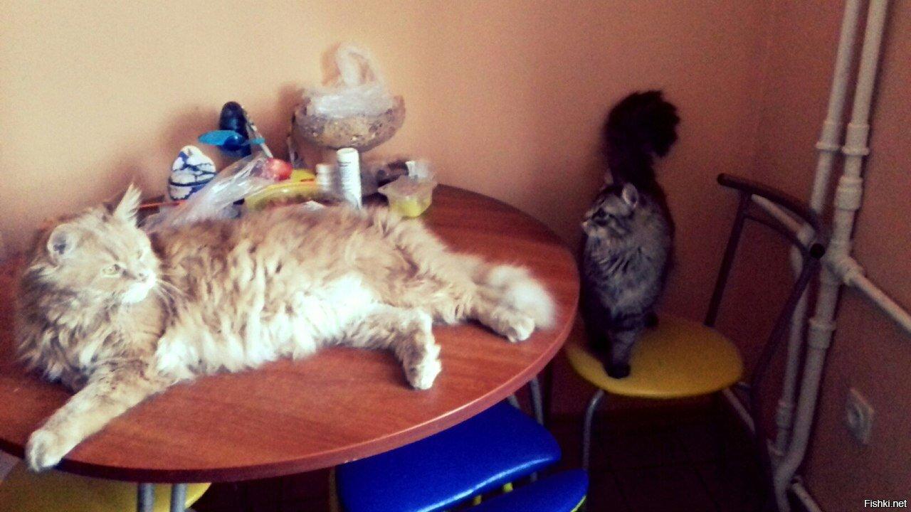 Котяка-мейнкуняка