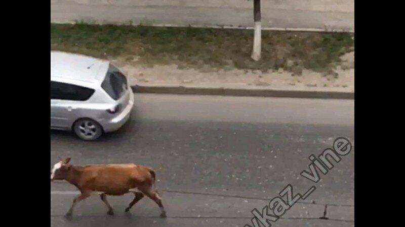 Руки вверх, корова!