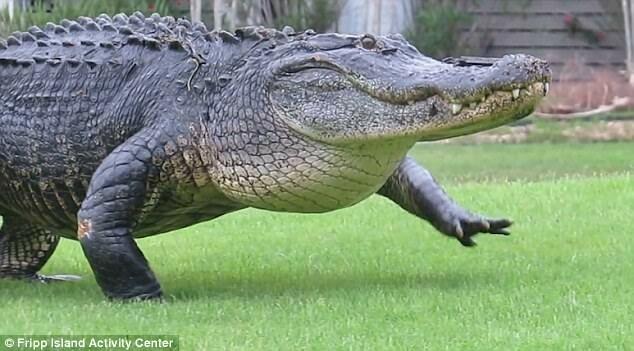 Огромный аллигатор забрел на поле для гольфа