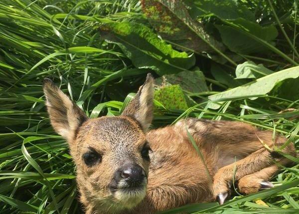 Немецкий охотник использует квадрокоптеры, чтобы спасти оленят от лезвий комбайнов