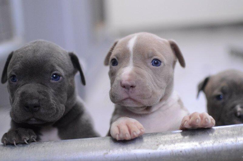17 малоизвестных причин, почему щенки питбуля — самые опасные бестии на Земле