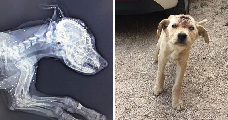 Этой бездомной собаке стреляли в голову десятки раз, но она продолжала бороться за свою жизнь