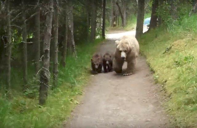Мужчина снял на камеру, как медведица с двумя медвежатами преследовала его по дороге к лагерю