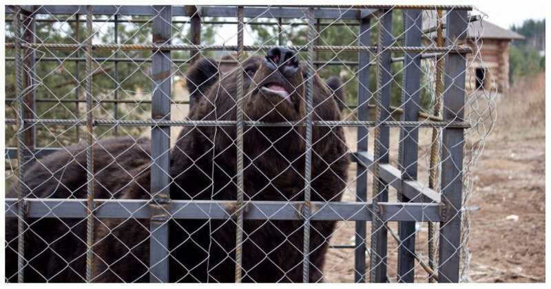 Пьяный житель Иркутска лишился руки, решив покормить медведей сгущенкой