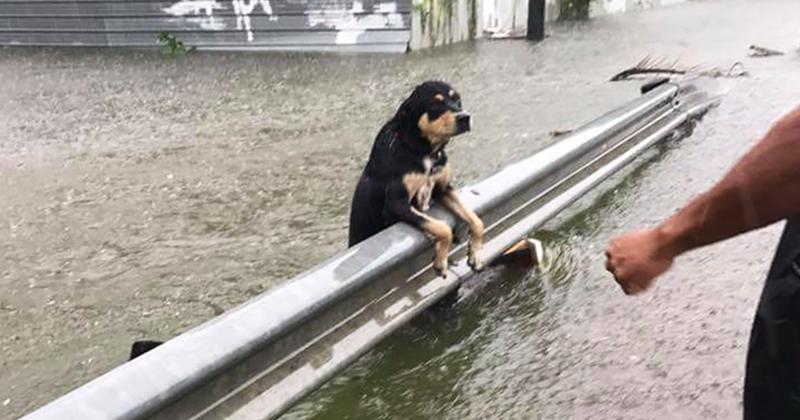 """Фотографии собак, брошенных хозяевами на произвол судьбы во время урагана """"Харви"""""""