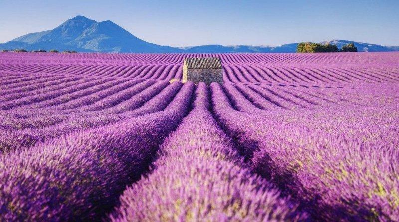 Красота лавандовых полей Франции