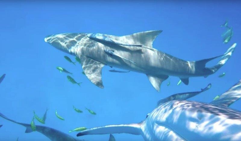 Тупорылая акула  попыталась съесть камеру GoPro