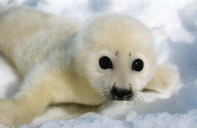 Россия закрыла Баренцево море или вторая Тюленья война