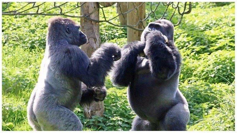 Драка за еду: гориллы в зоопарке устроили боксерский поединок