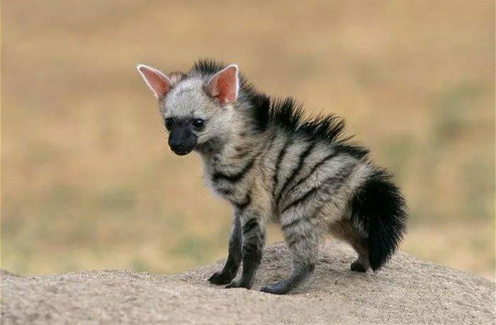 Симпатичный волк, о котором вы никогда не слышали