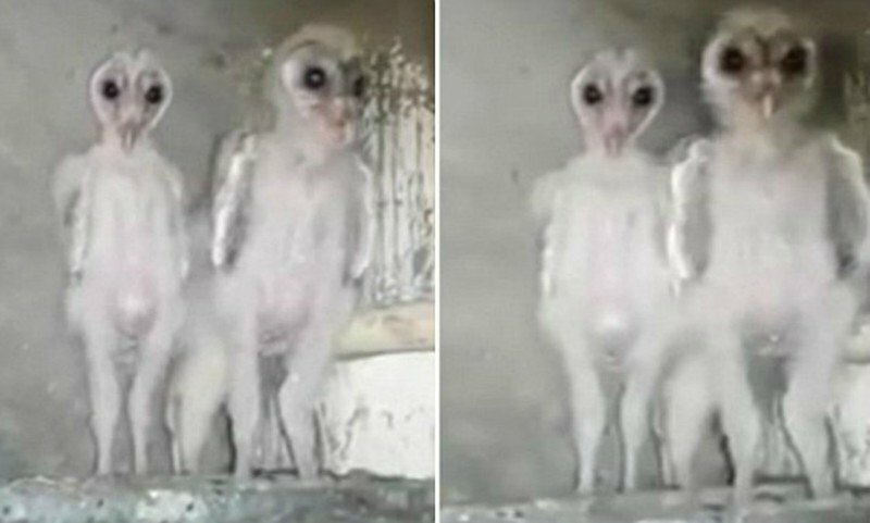 В Индии строители приняли совят за инопланетных существ