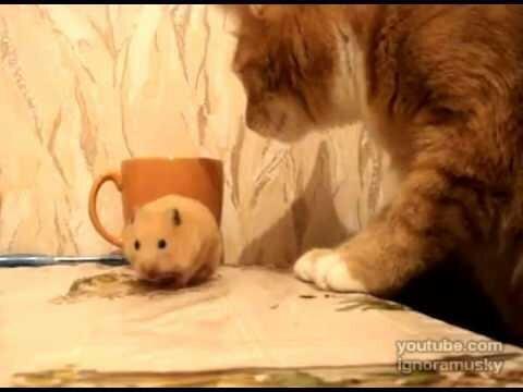 Жадный хомяк с аппетитом лопает сало, но тут к нему подкрался кот