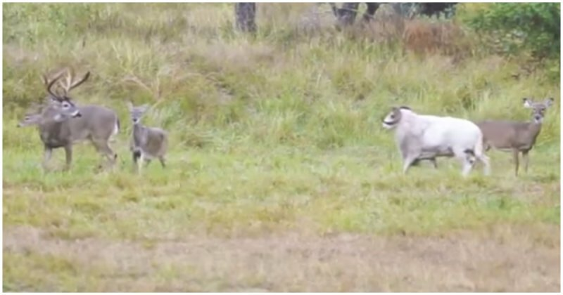 Баран попытался напасть на оленя, но очень скоро пожалел о своем поступке