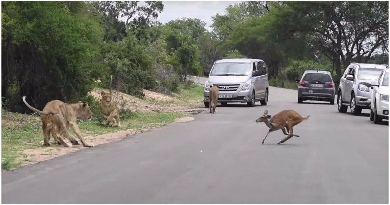 Антилопа-самоубийца решила пробежать через строй идущих по своим делам львов