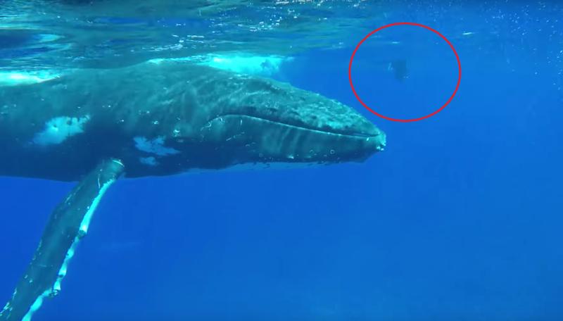 Горбатый кит спас женщину от акулы