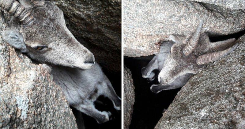 Туристы спасают горного козла, застрявшего в камнях