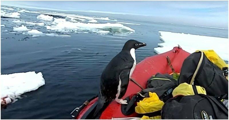 Любопытный пингвин запрыгнул в лодку к ученым в Антарктиде