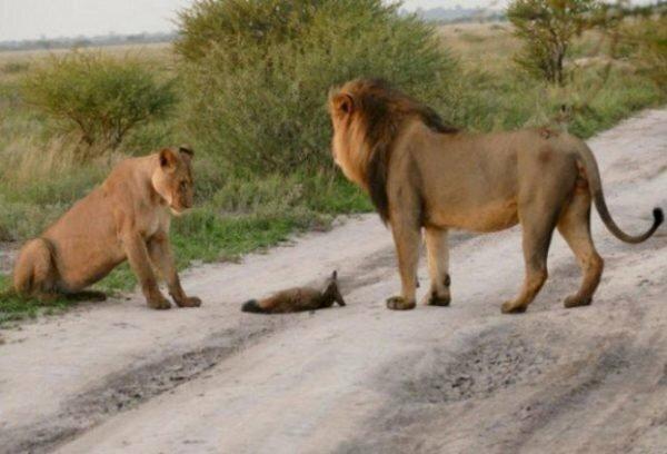 Два льва приблизились к раненому лисенку… Затем произошло то, что не поддается объяснению!
