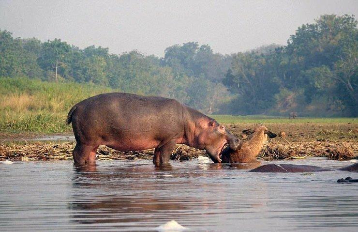 Как бегемот спас водяного козла от крокодила