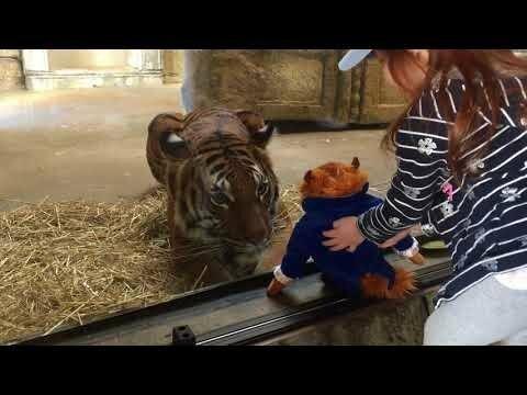 Тигр в американском зоопарке попытался стащить игрушку у девочки