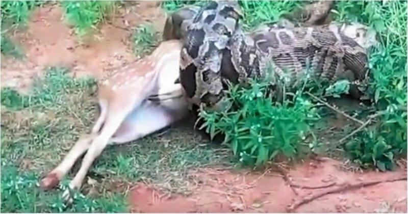 Туристы сняли на видео, как четырехметровый питон проглатывает оленя