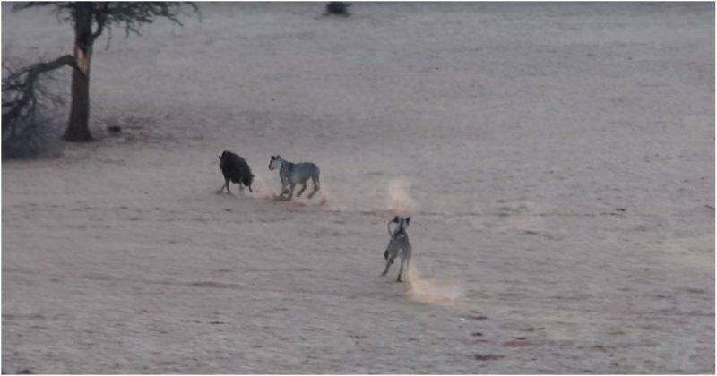 Гиене удалось сбежать от пяти голодных львиц
