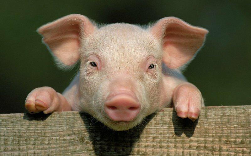 Свиньи и интересные факты про них